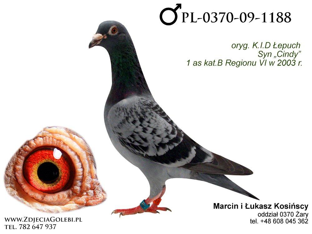 Zdjęcia Gołębi Pocztowych - tel. +48 782 647 937